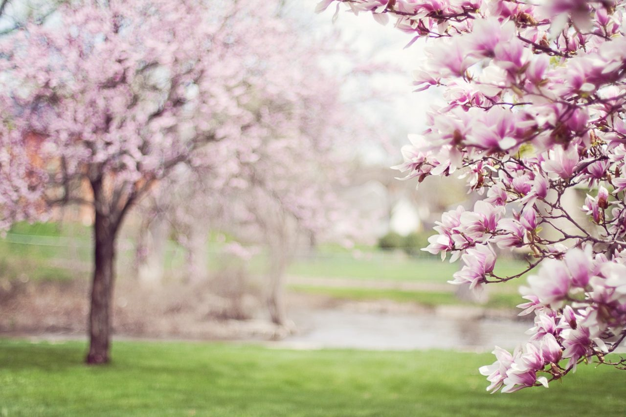 http://dortchlaw.com/wp-content/uploads/2018/05/magnolia-trees-556718_1920-1280x853.jpg
